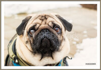 Dog breed pug. Portrait of a pet  Ingelijste poster