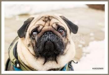 Ingelijste poster Dog breed pug. Portrait of a pet