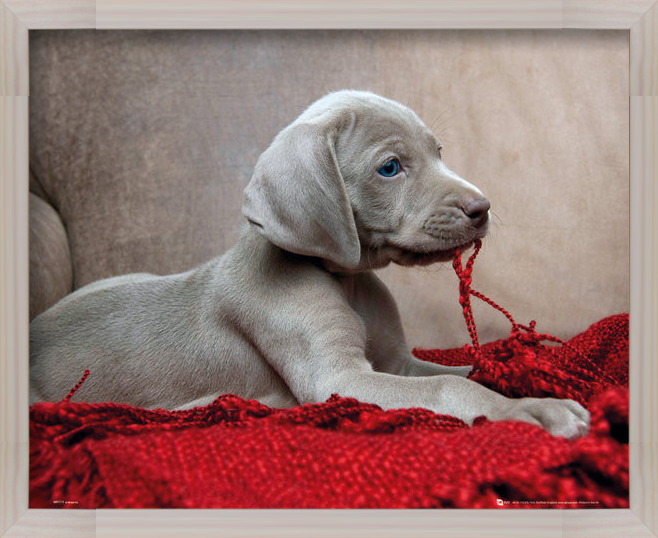 Puppy - Red Blanket Poster