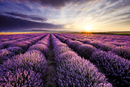 Lavendar Field Sunset